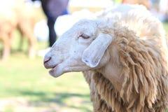 绵羊在农场,羊羔 库存照片