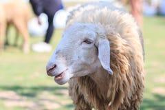 绵羊在农场,羊羔 免版税库存照片