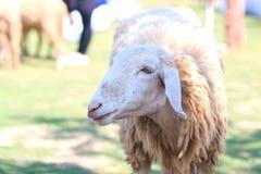 绵羊在农场,羊羔 库存图片