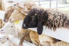 绵羊在农场 免版税图库摄影