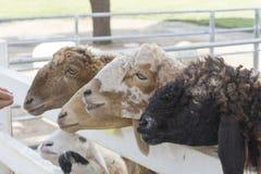 绵羊在农场 库存图片