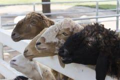 绵羊在农场 库存照片