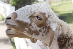 绵羊在农场 免版税库存照片