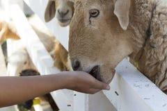 绵羊在农场 图库摄影