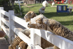 绵羊在农场 免版税库存图片