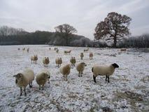 绵羊在冬天 图库摄影