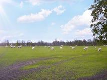 绵羊在凡尔赛小村庄在法国 图库摄影