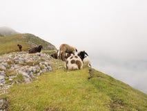 绵羊在奥地利阿尔卑斯 库存照片