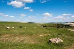 绵羊在家在滚动的苏克塞斯乡下 库存照片