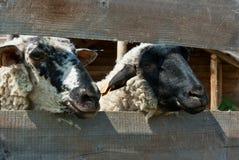 绵羊在封入物 库存图片