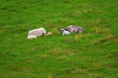 绵羊在山的一个草甸 库存照片