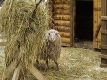 绵羊在干草堆附近的一个畜栏 图库摄影