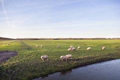 绵羊在开拓地purmer草甸在purmerend附近的在amsterd北部 库存图片