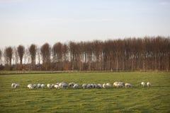 绵羊在开拓地purmer草甸在purmerend附近的在amsterd北部 免版税库存照片