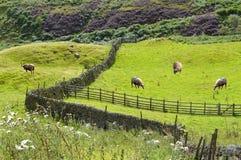 绵羊在德贝郡英国英国 免版税库存照片