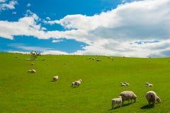 绵羊在新西兰 免版税库存图片