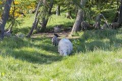 绵羊在森林 免版税库存图片