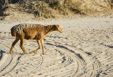 绵羊在沙漠 库存照片