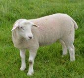 绵羊在牧场地 免版税库存照片