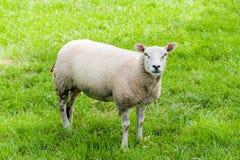 绵羊在牧场地 免版税库存图片