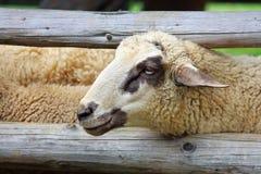 绵羊在畜栏 库存图片