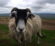 绵羊在英国(约克夏山谷) 库存照片