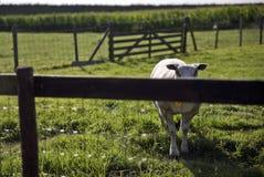 绵羊在草原在Schalkwijk 免版税库存图片