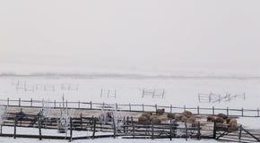 绵羊在草甸的冬天 图库摄影