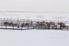 绵羊在草甸的冬天 免版税图库摄影
