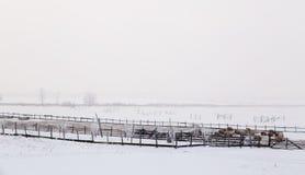 绵羊在草甸的冬天 库存照片