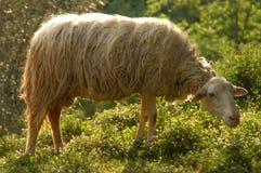 绵羊在草甸 免版税图库摄影