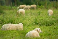 绵羊在草甸 库存照片