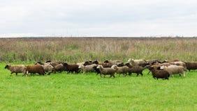 绵羊在草甸 免版税库存图片