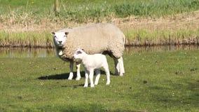 绵羊在草甸 股票录像
