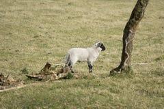 绵羊在草甸 图库摄影