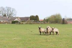 绵羊在荷兰 库存照片