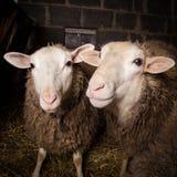 绵羊在谷仓 库存图片