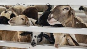 绵羊在谷仓 免版税库存照片
