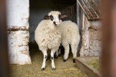 绵羊在谷仓 免版税库存图片