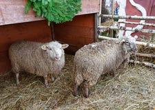 绵羊在里加老镇圣诞节的 免版税库存图片