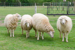 绵羊在绵羊农场 免版税库存图片