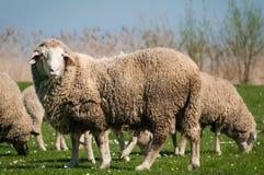 绵羊在绿色草甸 免版税库存图片