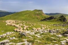 绵羊在Bucegi山的,罗马尼亚高山牧场地成群 库存照片