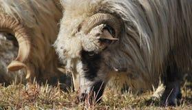 绵羊在FăgăraÈ™,罗马尼亚 免版税库存照片