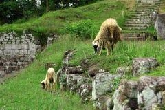绵羊在Ratu Boko,三 免版税库存图片