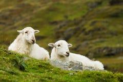 绵羊夫妇  免版税图库摄影