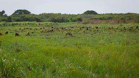 绵羊奔跑 免版税库存图片