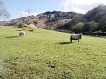 绵羊宁静的场面在小山的在明亮的春天阳光下 免版税库存照片