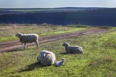 绵羊家庭画象 库存图片