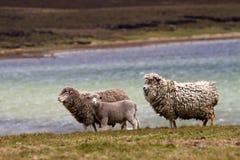 绵羊家庭 免版税图库摄影
